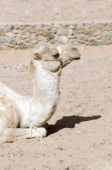 Wielbłąd leży na piasku.