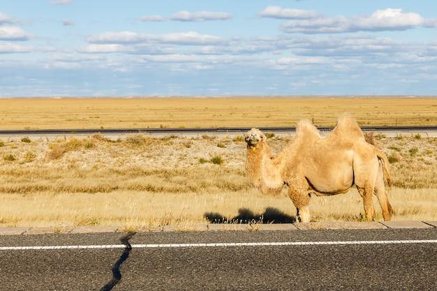 Wielbłąd na pustyni gobi, mongolia wewnętrzna