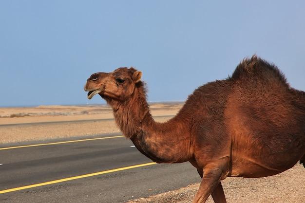 Wielbłąd na pustyni w arabii saudyjskiej