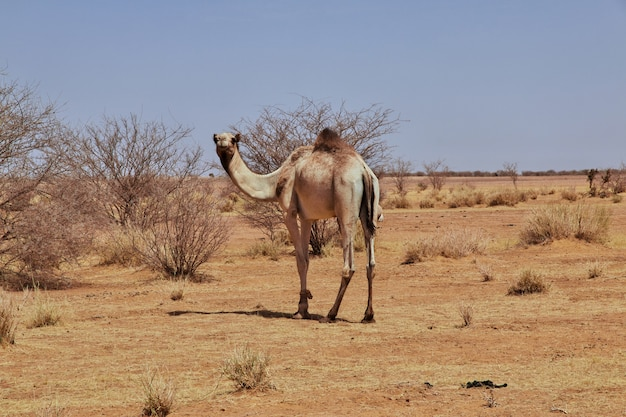 Wielbłąd na saharze w sudanie