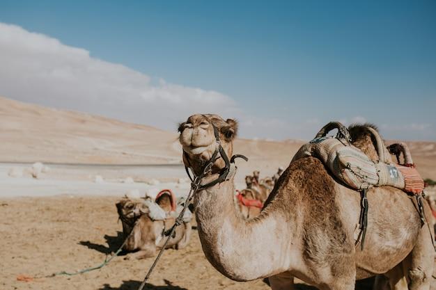 Wielbłąd na smyczy dla turystów w egipcie