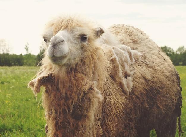 Wielbłąd na zielonej trawie, czas letni z bliska