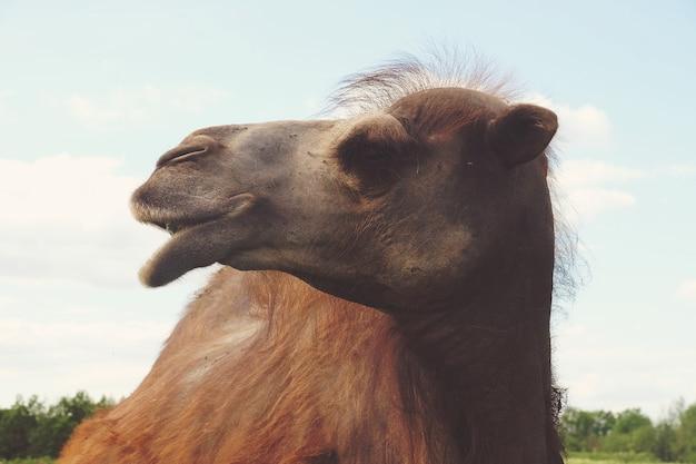Wielbłąd na zielonej trawie, czas letni
