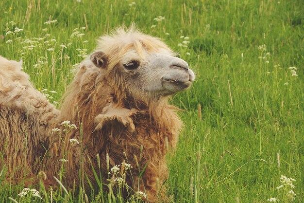 Wielbłąd na zielonej trawie, lato