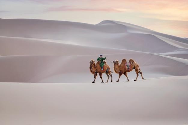 Wielbłąd przechodzący przez wydmy podczas zachodu słońca w mongolii pustyni gobi