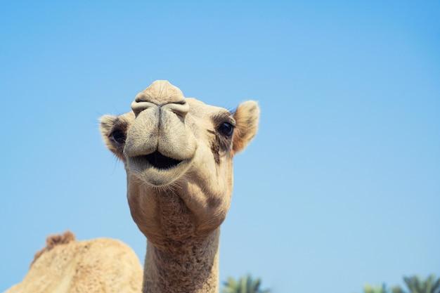 Wielbłąd śliczne owłosione buźki z niewinnymi oczami patrząc stojąc nad niebem, bahrajn.