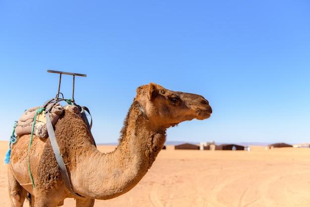 Wielbłąd spacerujący po saharze w maroku
