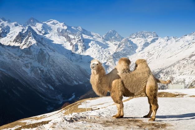 Wielbłąd w górach