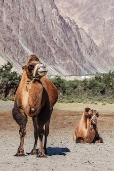 Wielbłąd w nubra vally, ladakh
