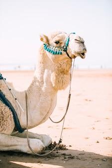 Wielbłąd w pustynnym krajobrazie w maroko
