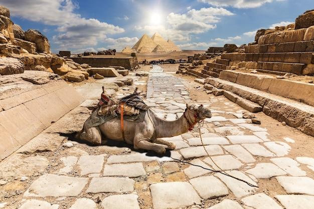 Wielbłąd w ruinach świątyni w gizie w egipcie.