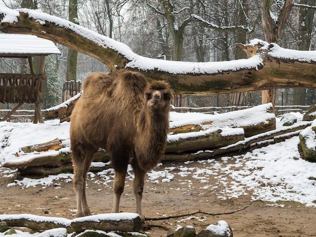 Wielbłąd z dużymi pniami drewna pokrytymi śniegiem