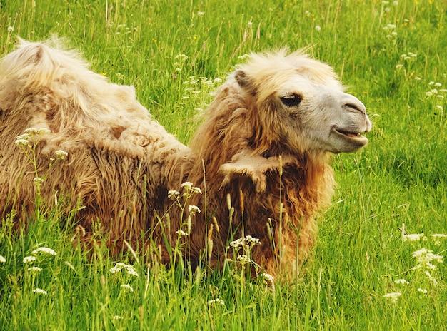 Wielbłąd żuć jedzenie z otwartym usta lying on the beach odizolowywającym na zielonej trawie