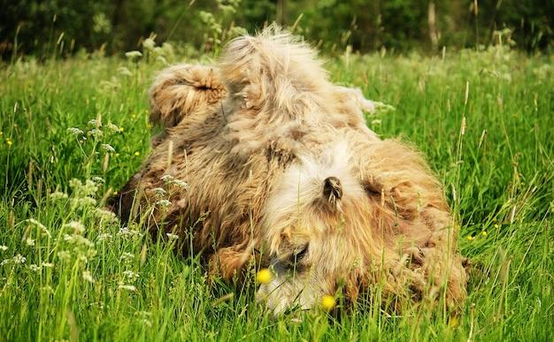 Wielbłąd żuje jedzenie z otwartymi ustami, leżąc na białym tle na zielonej trawie, czas letni