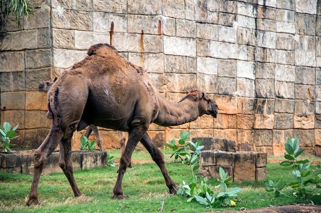 Wielbłąd zwierząt chodzenie po oazie w zoo