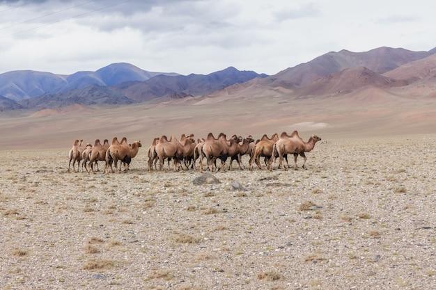 Wielbłądy, camelus bactrianus, na khongoryn els w parku narodowym gobi gurvansaikhan, mongolia