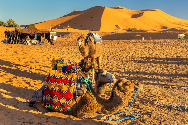 Wielbłądy dromader odpoczywające na wydmach erg chebbi na saharze. merzouga, maroko