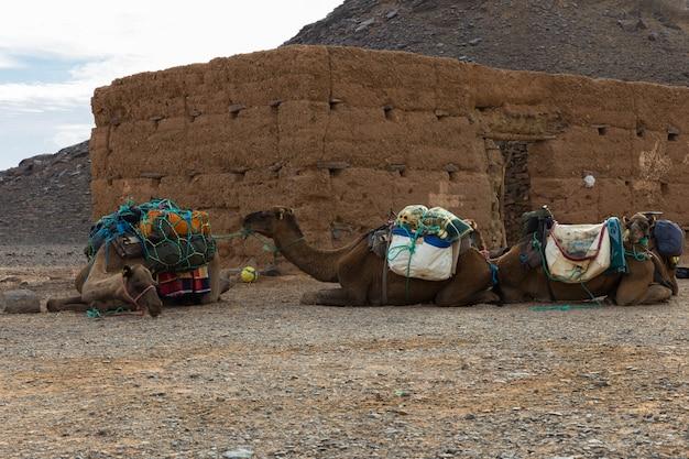 Wielbłądy leżące w pobliżu domu na saharze w maroku