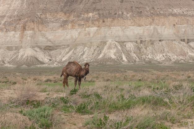 Wielbłądy na płaskowyżu ustiurt. powiat boszhir. dno suchego oceanu tetyda