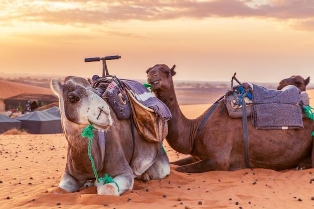 Wielbłądy odpoczywają na saharze.