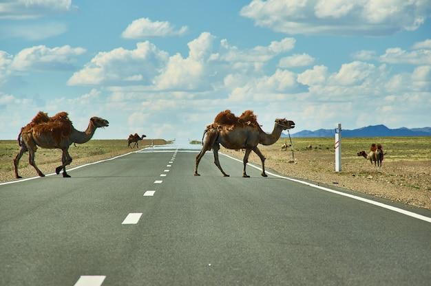 Wielbłądy przecinają autostradę, bactrian lub dwugarbny wielbłąd pustynia gobi, mongolia
