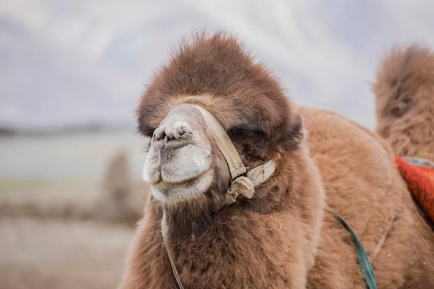 Wielbłądy w dolinie nubra na wydmach hunder sand w stanie dżammu i kaszmir w regionie ladakh w północnej części indii