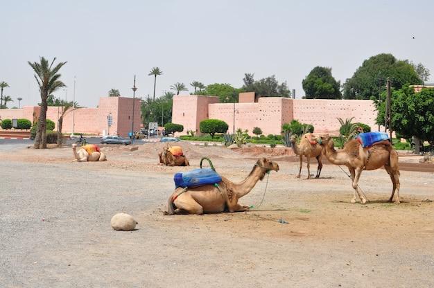 Wielbłądy w marrakech