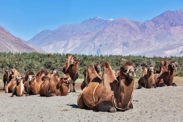 Wielbłądy w nubra vally, ladakh