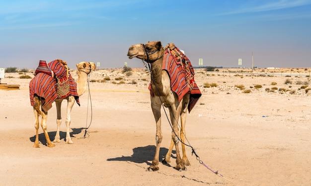 Wielbłądy w pobliżu historycznego fortu al zubara w katarze. bliski wschód