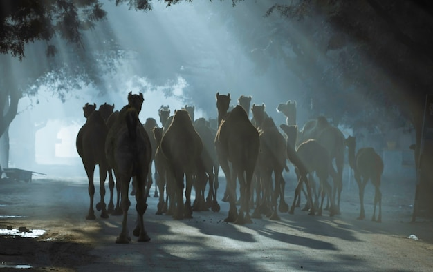 Wielbłądy w promieniach słońca, rajasthan, indie
