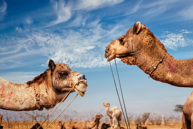 Wielbłądy w pushkar mela (pushkar camel fair), indie