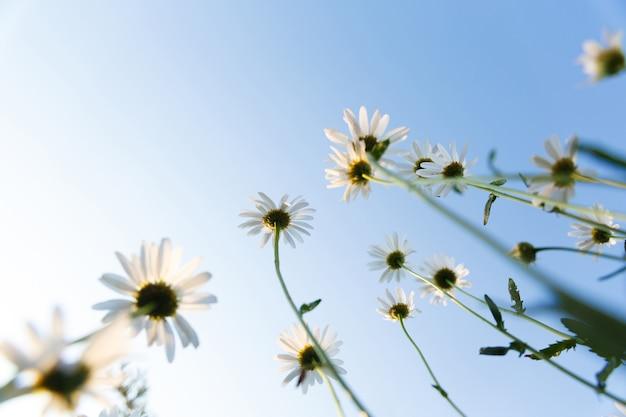 Wiele białych stokrotek w ogrodzie na tle nieba