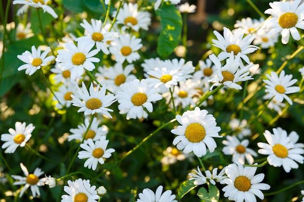 Wiele białych stokrotek w ogrodzie na tle trawy