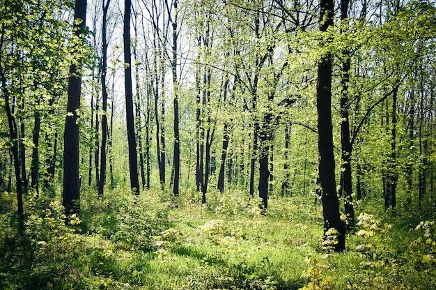 Wiele cienkich drzew rośnie w lesie wiosną przy jasnym słońcu