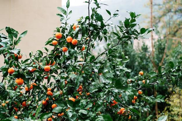 Wiele dojrzałych pomarańczowych mandarynek na gałęziach drzewa w ogrodzie