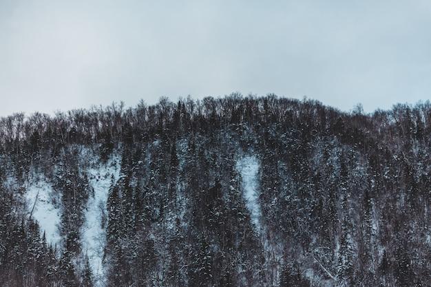Wiele drzew ze śniegiem w zimie