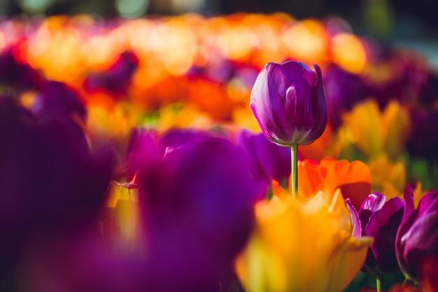 Wiele fioletowych i pomarańczowych tulipanów