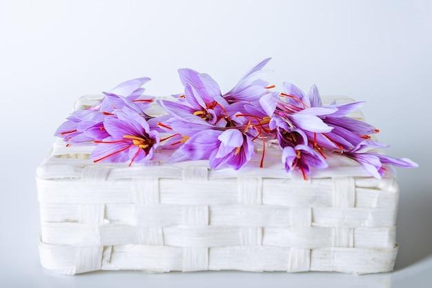 Wiele fioletowych kwiatów krokusa sativus na białym tle. najdroższa przyprawa.