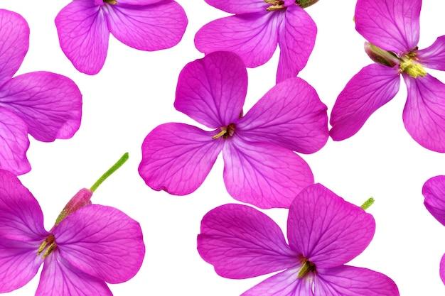 Wiele fioletowych kwiatów. zbliżenie na białym tle. na białym tle.