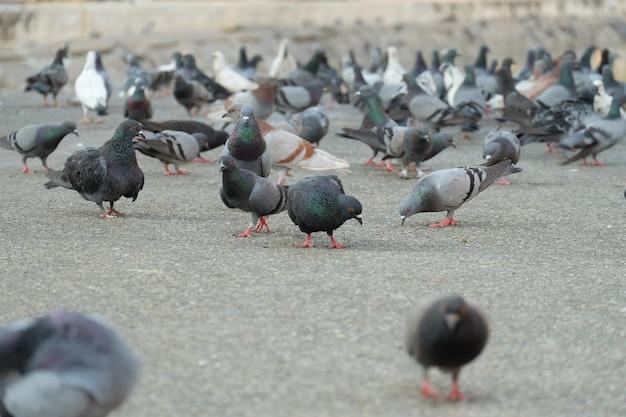 Wiele gołąbków chodzących po chodniku.