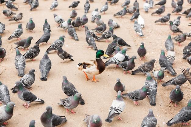 Wiele gołębi w kwadratowym ziarnie dziobania