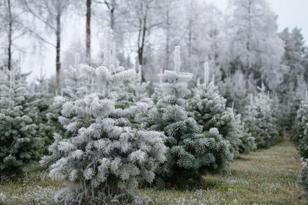 Wiele jodeł pokrytych śniegiem na rozmytym tle