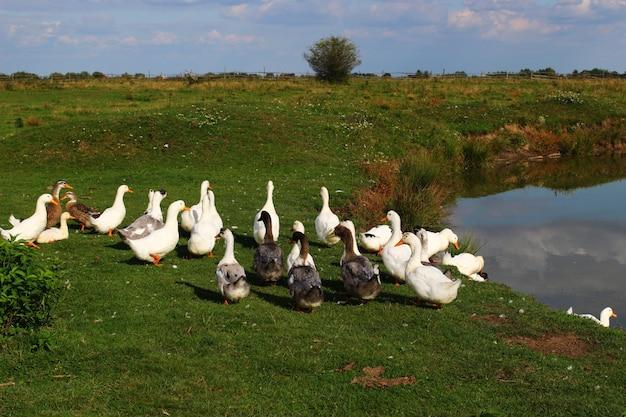Wiele kaczek na pastwisku latem