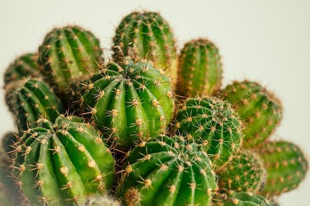Wiele kaktusów na białym tle. koncepcja depilacji i depilacji