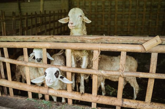 Wiele kóz w klatkach szuka pożywienia z ogrodzenia