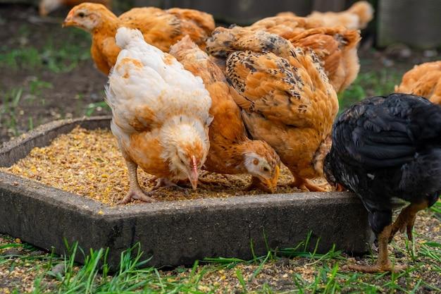 Wiele kurczaków domowych je pożywienie, stada kurczaków