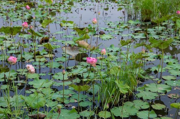 Wiele kwiatów lotosu w stawie