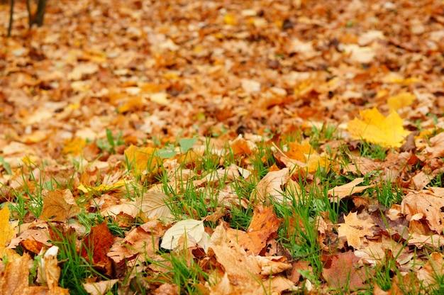 Wiele liści jesienią leżących między trawami w poznaniu