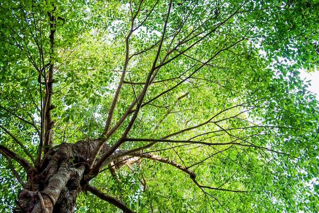 Wiele liści w wielkim drzewie z promieni słonecznych, widok z dołu lub pod, tło natura.