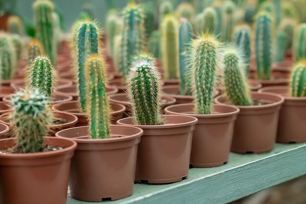 Wiele małych kaktusów w doniczkach na ladzie sklepowej